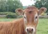 Cow on the Oxfordshire Way near Kirtlington