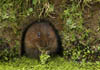 Water vole, taken by Terry Longley at seeing.org