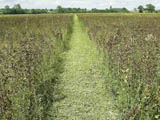 Picture of a path cutting through a field crop