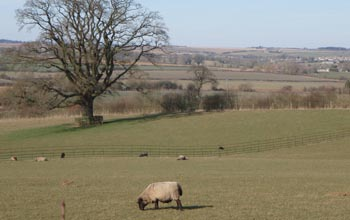 Sheep by Charlbury walk