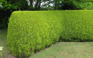 A leylandii hedge