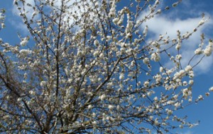 Spring blossom on tree branches