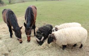 sheep and horses feeding on hay