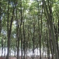 Trees on Badbury Hill