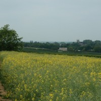 Field of Oil Seed Rape crop on the Kirtlington to Beckley section