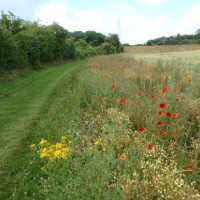 Mown grass path with a profusion of wild flowers next to cereal field