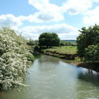 Hawthorn in bloom by river on Shipton to Stonesfield section
