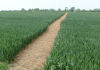 Path through crops